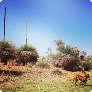 grasstrees